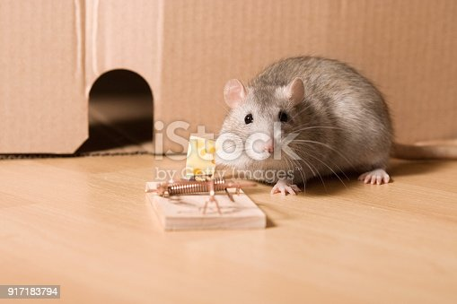 495695633 istock photo Mouse Trap, Cautious Rat near Hole and Cheese in Mousetrap 917183794