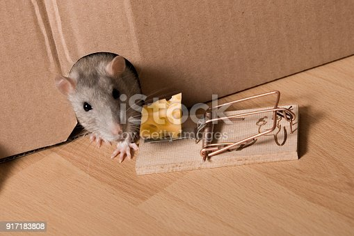 495695633 istock photo Mouse Trap, Gray Rat in Hole and Cheese in Mousetrap 917183808