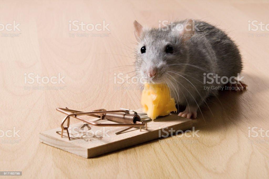 チーズネズミ捕りのチーズを食べるラットとマウス トラップ ...