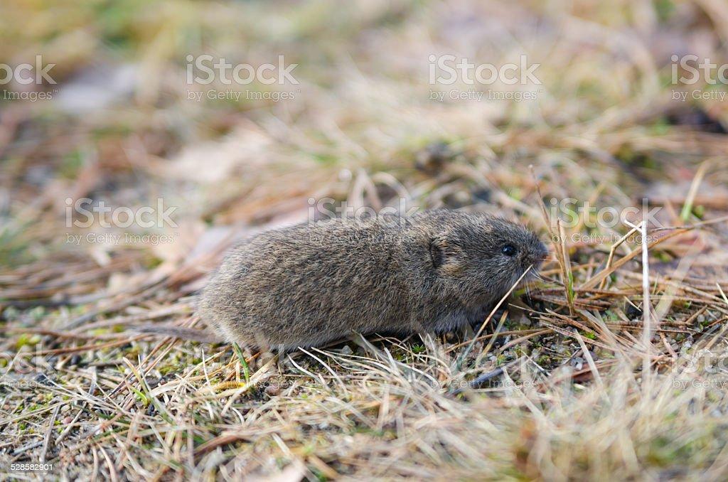 Maus Ostschermaus, Nahaufnahme – Foto