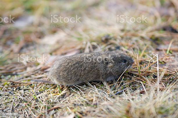 Free meadow vole Images, Pictures, and Royalty-Free Stock ...