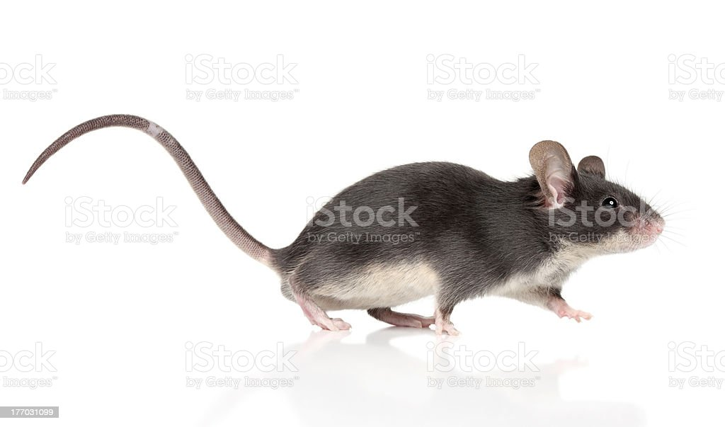 Mouse with a long tail running stock photo
