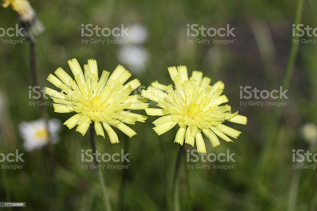 Mouse-ear hawkweed pale yellow flowers stock photo