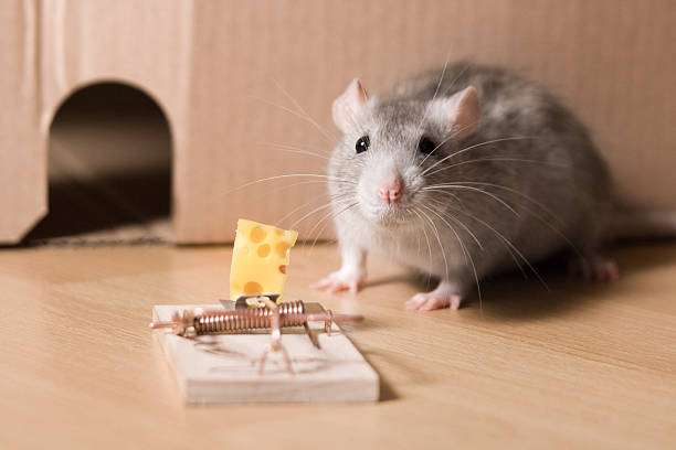mousetrap and cheese  trap stock pictures, royalty-free photos & images