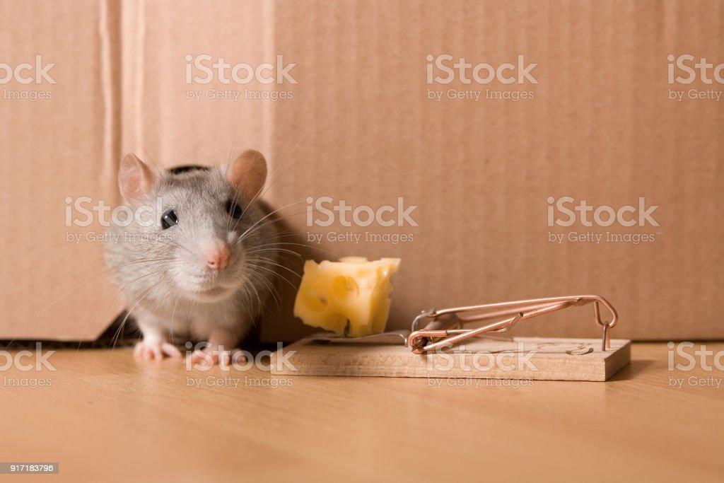 ネズミ捕り穴で灰色ネズミとチーズのマウス トラップ - つかまえるの ...