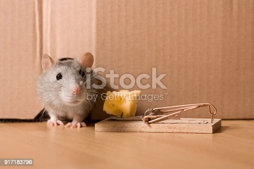 495695633 istock photo Mousetrap, Gray Rat in Hole and Cheese in Mouse Trap 917183796