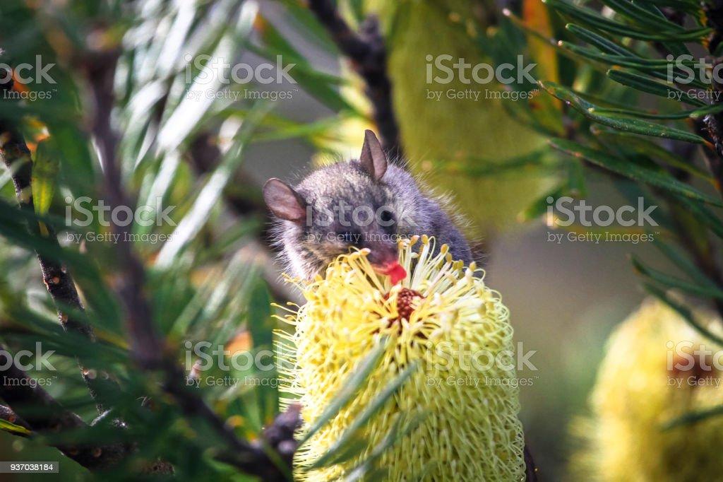 Pasar el ratón lamiendo el néctar de una flor de Bottlebrush en Tasmania - foto de stock