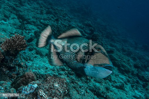 Moustache triggerfish (Balistoides viridescens) is a large species of triggerfish found in lagoons and at reefs to depths of 50 m (160 ft)