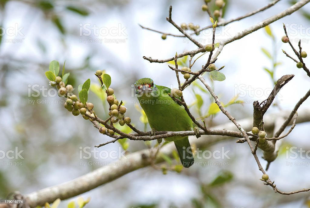 moustached barbet stock photo