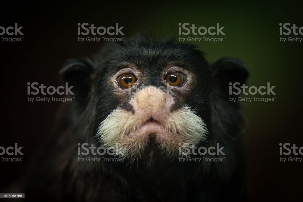Moustached tamarin royalty-free stock photo