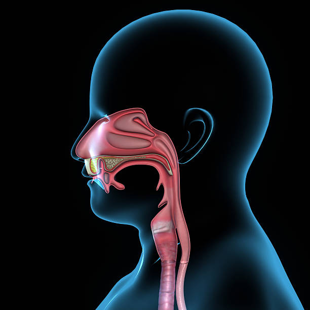 mouth anatomy - esophagus stock photos and pictures
