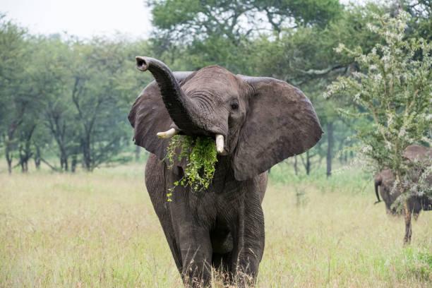What do elephants eat?