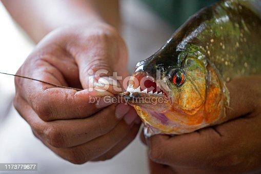 Hands holding a big piranha taken on Napo river, Ecuador