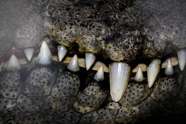Bouche du chasseur de crocodiles. - Photo