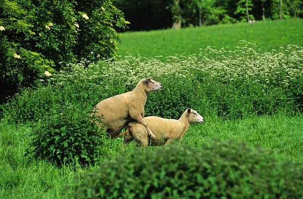 moutons amoureux stock photo