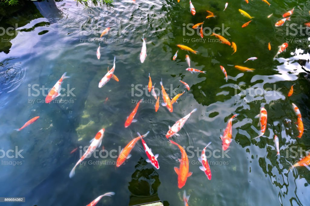 Movement group of colorful koi fish in clear water stock photo