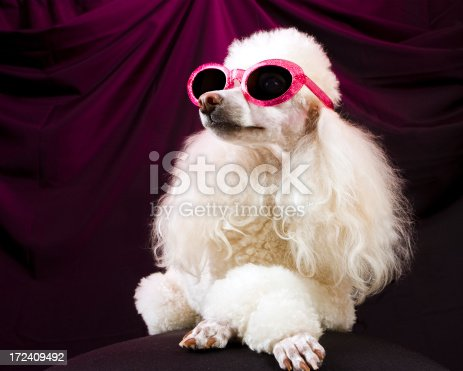 A glamorous, well-groomed poodle in sunglasses strikes a pose with her paws crossed and her nose in the air--much like a vain movie actress or fashion model might do.