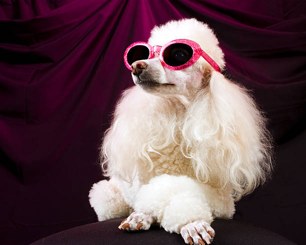 Movie star poodle striking a pose picture id172409492?b=1&k=6&m=172409492&s=612x612&w=0&h=xxf09evu2rosqzuruq9i3b b6ofypv1t7st f qt fc=