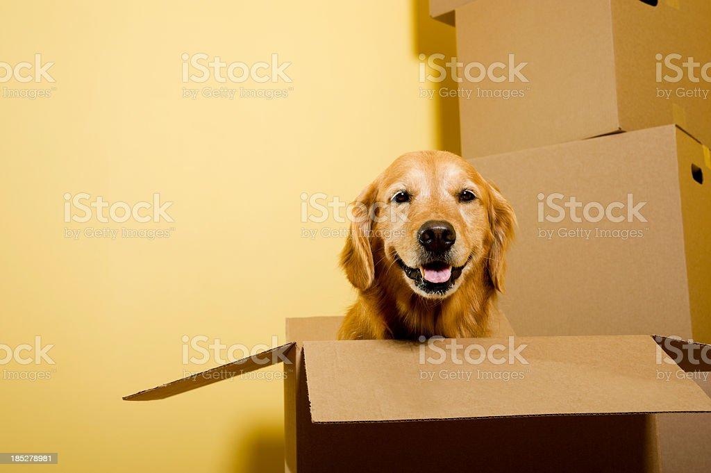 Moving - Happy Golden Retriever dog in cardboard box stock photo