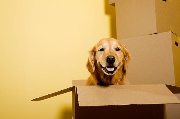 moving - happy golden retriever dog in cardboard box - flyttlådor bildbanksfoton och bilder