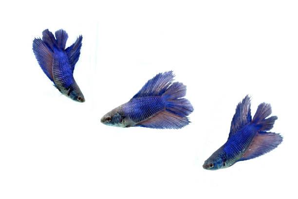 moment émouvant de poissons de combat siamois, betta splendens isolé sur fond blanc. - animaux familiers exotiques photos et images de collection