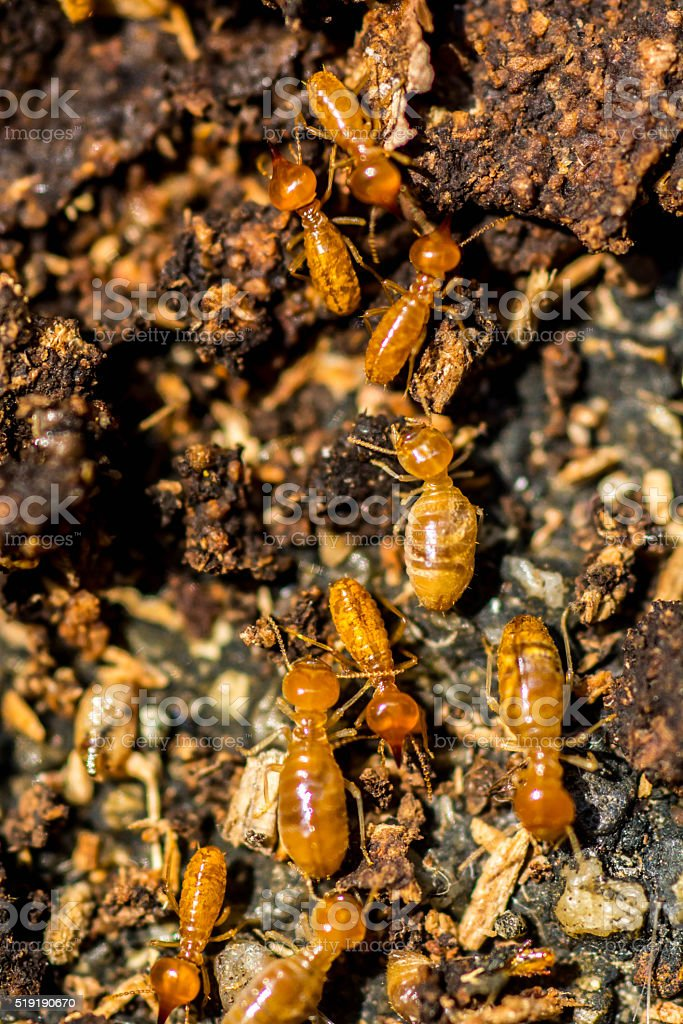 Moving Termite on decomposing wood stock photo