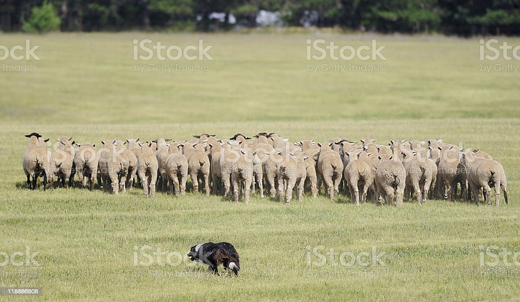 Moving the Sheep (Ovus aries) Herd stock photo