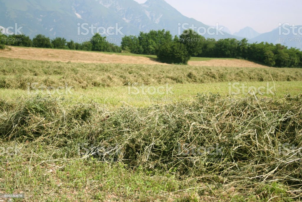 Mowed alfalfa field stock photo