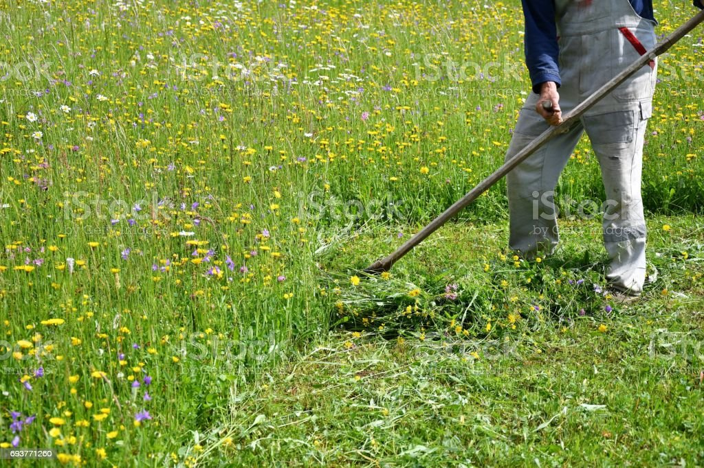 Beliebt Bevorzugt Mähen Die Rasen Traditionelle Art Und Weise Mit Der Sense #WM_37