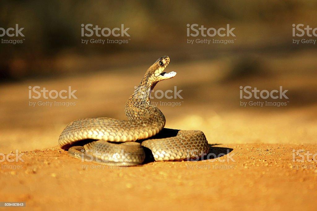 Mozamique Spitting Cobra stock photo