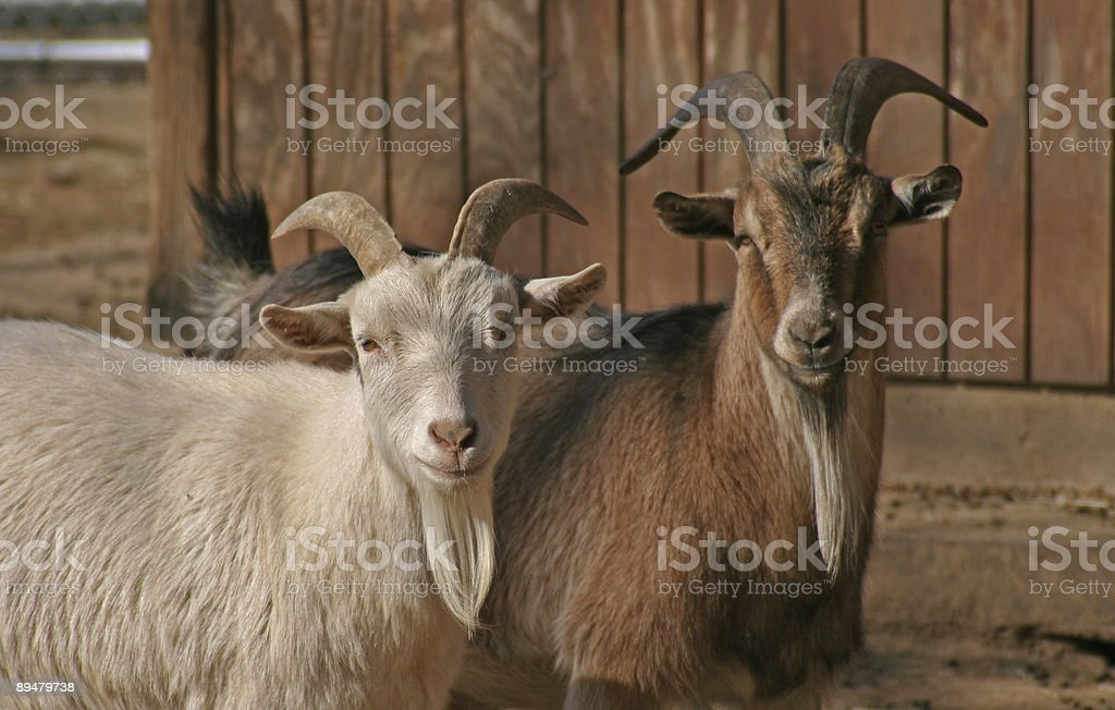 Mr and Mrs Goat stock photo