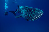 The whale shark, largest fish in the sea. Rhincodon typus