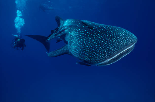 Mr. Big .whale shark – Foto