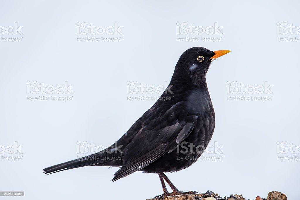 Mr Blackbird stock photo