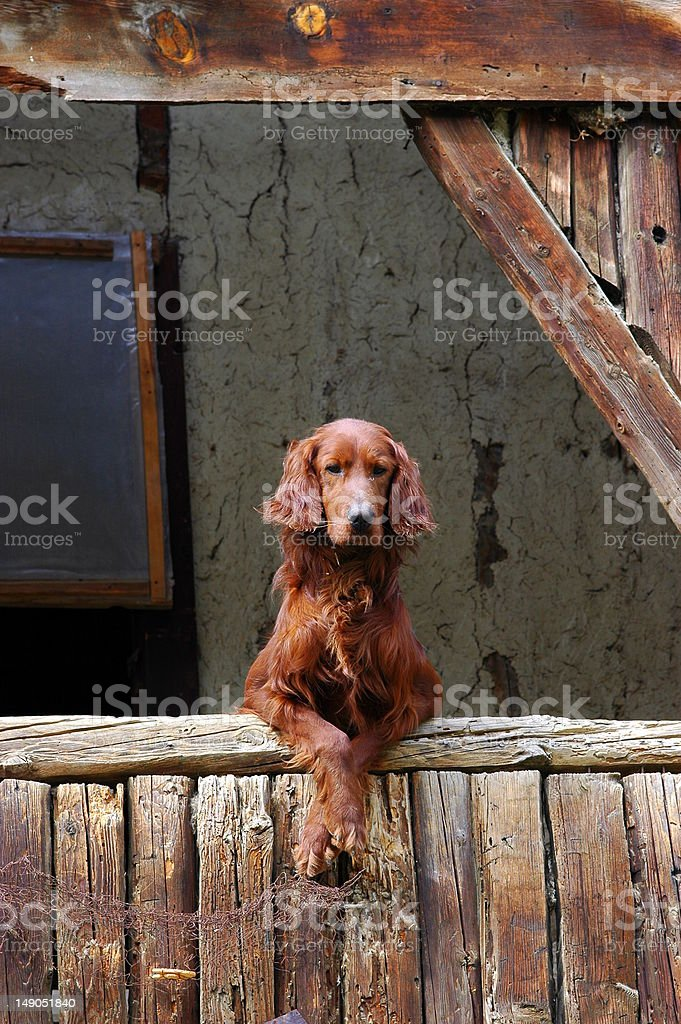 Mr. Brown Setter stock photo