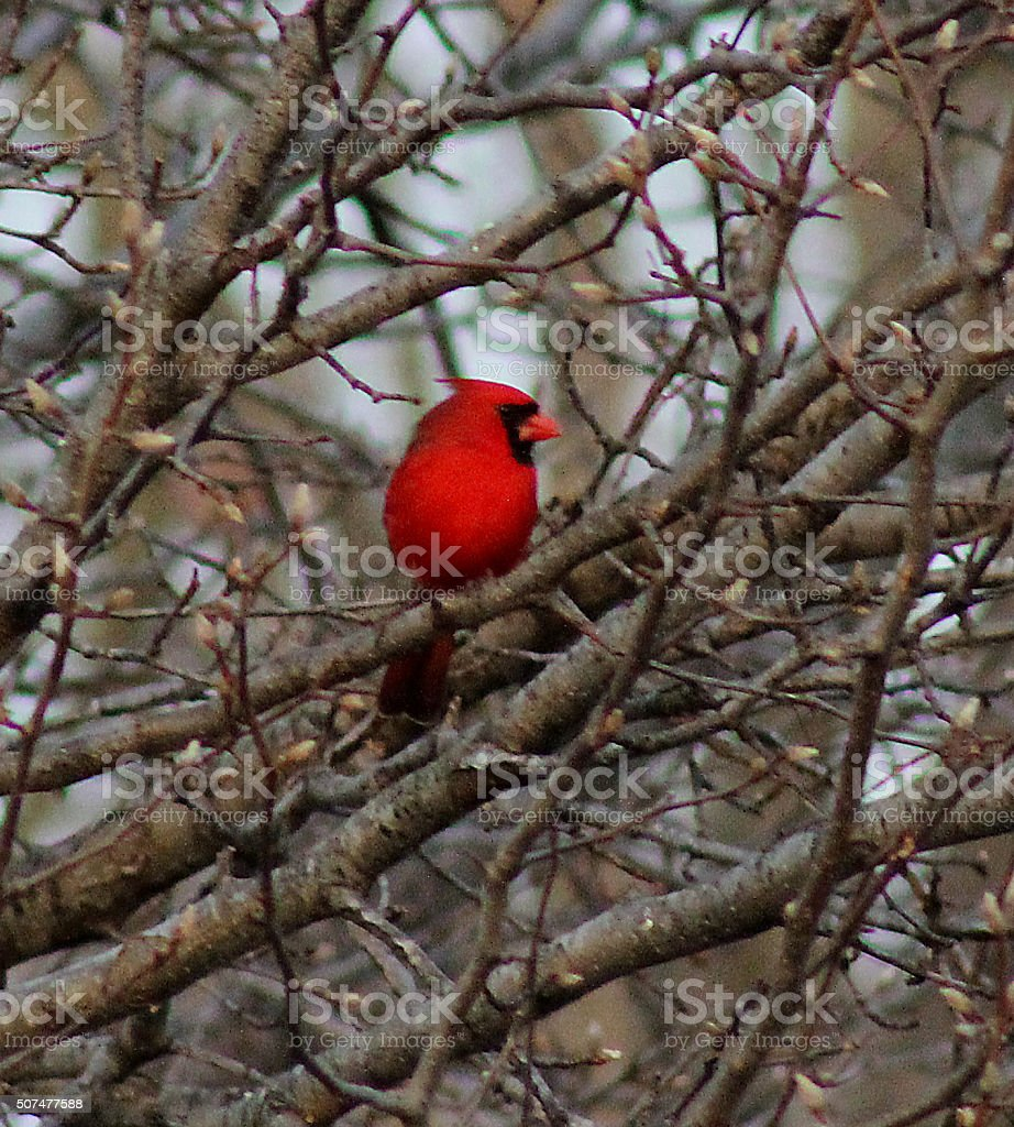 Mr. Cardinal Tonight stock photo