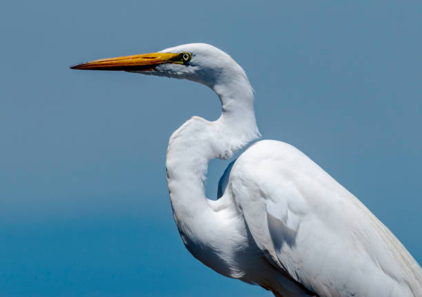 bay heron tüm görür - balıkçıl stok fotoğraflar ve resimler