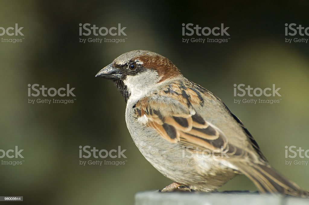 Mr House Sparrow royalty free stockfoto