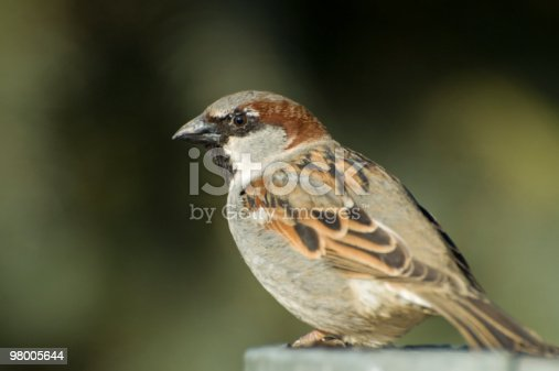 Mr House Sparrow Stock Photo & More Pictures of Animal Wildlife