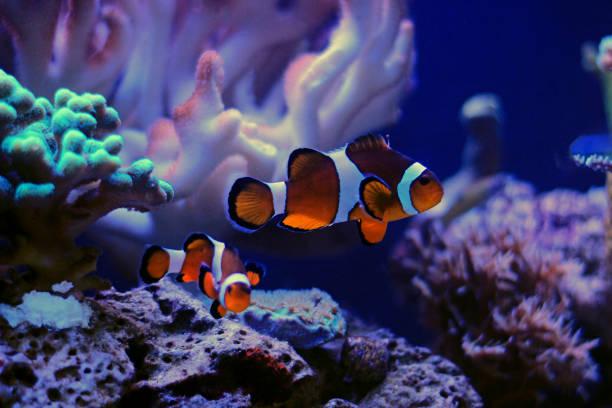 mr, Popular saltwater aquarium fish - The Clownfish Most popular saltwater aquarium fish nemo museum stock pictures, royalty-free photos & images