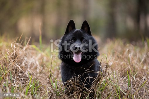 Young vibrant male Schipperke. Enjoying a day out and about
