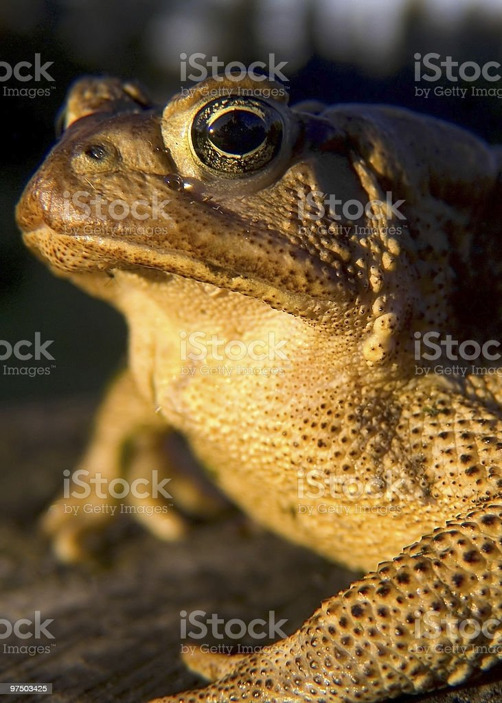 Mr. Toad royalty-free stock photo