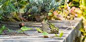 Märchenhafter Frosch
