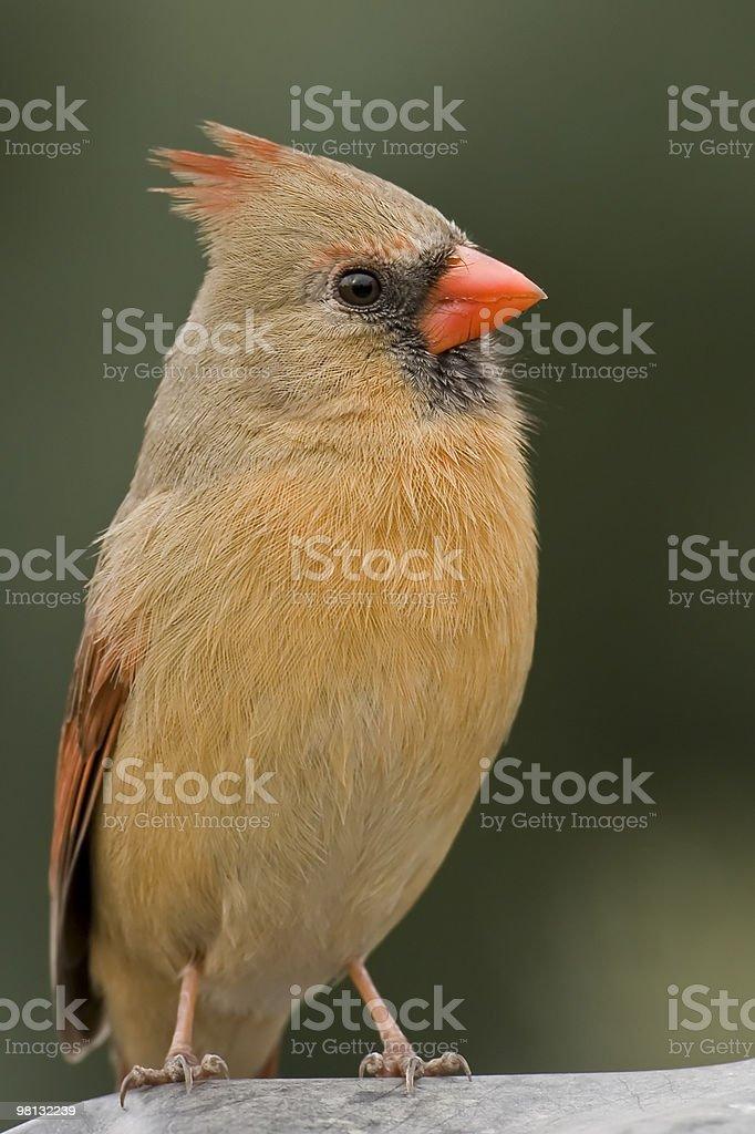 Mrs Cardinal royalty-free stock photo