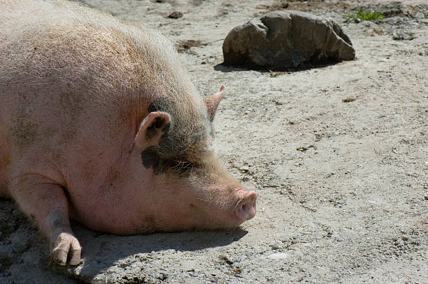 Mrs. Piggy Mrs. piggy taking a after-lunch sleeping - that addle stock pictures, royalty-free photos & images