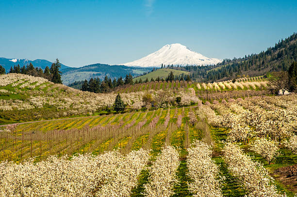 "Mt Adams, apple orchards, Oregon ""Apple orchards blossoming white in springtime, Hood River Valley, Oregon"" hood river valley stock pictures, royalty-free photos & images"