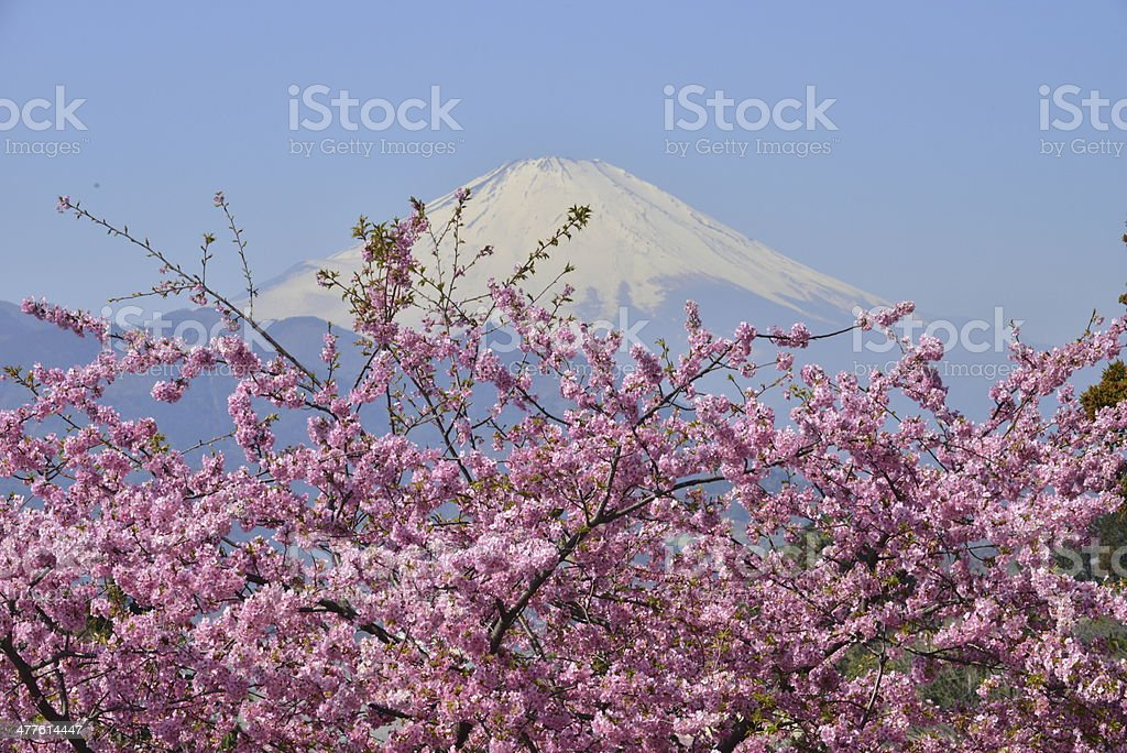 Mt Fuji and Cherry Blossoms royalty-free stock photo