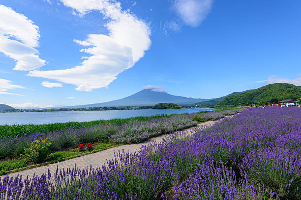 Mt. Fuji and Lavender at Lakeside of Kawaguchi The Fujikawaguchiko Herb Festival is one of the biggest events of the year. It is held in Yagizaki Park & Oishi Park every year. It is most famous for its lavish and lavendar beds. lake kawaguchi stock pictures, royalty-free photos & images