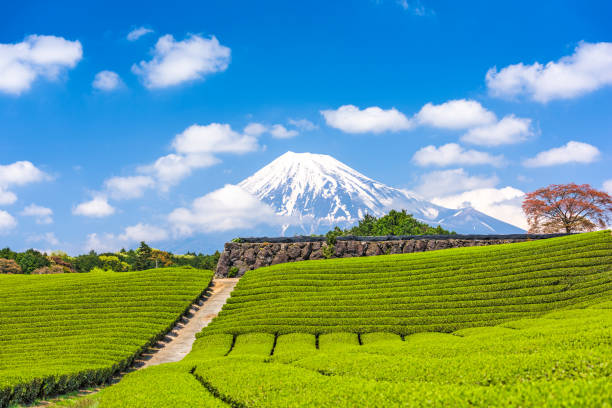 Mt. Fuji and Tea Fields stock photo