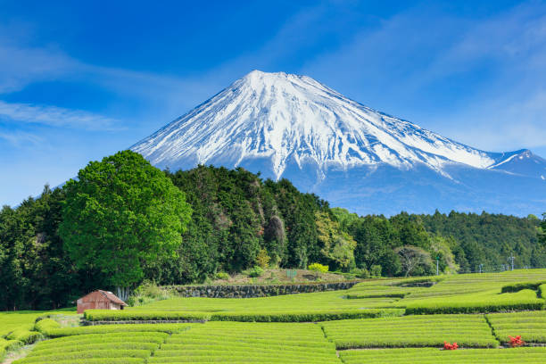 Mt. Fuji und Teeplantagen im Frühsommer – Foto